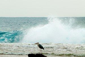 Grey Heron in Ocean