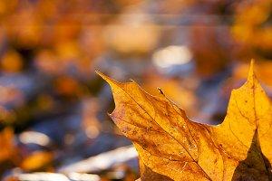 fallen leaves of a maple