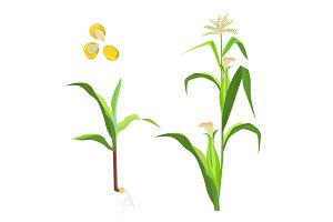 Sweet corn flowering plant and seeds vector illustration isolated