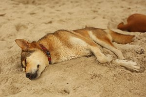 dog sleeping on beach send in hot asian day