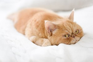 Cute persian cat laying on bed
