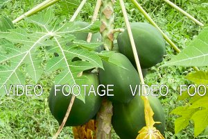Papaya trees with hanging fruits in farm garden organic agriculture in Asia.
