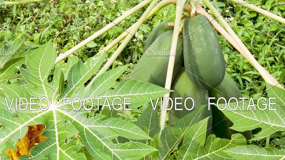 Papaya Trees With Hanging Fruits In Farm Garden Organic Agriculture In Asia