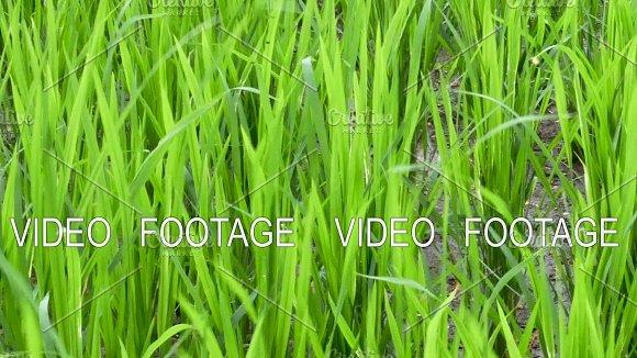 Rice Field Blowing Wind