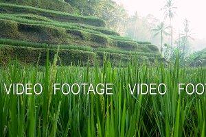 Rice Terrace field. Ubud. Bali. Indonesia.