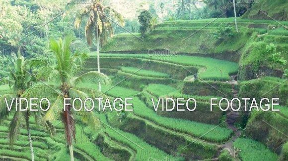 Rice Terrace Field Ubud Bali Indonesia