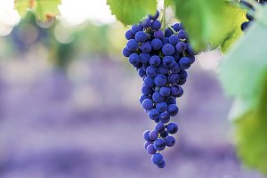 Brunch of black grapes. lilac light