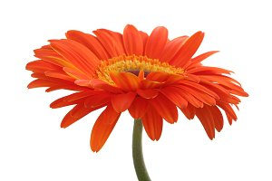 Red gerbera flower isolated
