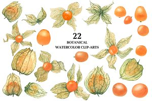 Physalis. Botanical Watercolor