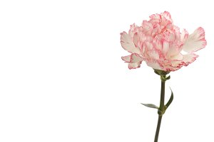 Pink carnation flower isolated