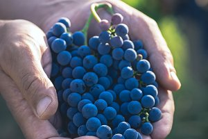 Grapes in the farmer hands