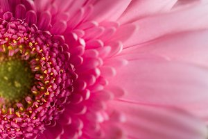 Closeup of Pink Daisy Petals