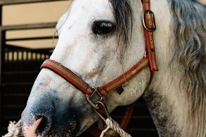Close up of beautiful head of white andalusian race horse