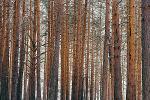 Background of trunks of pine trees in forest