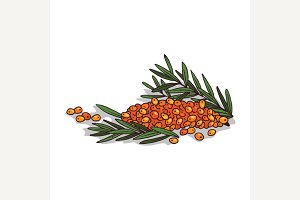 Isolated clipart Sea buckthorn