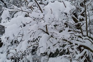 Tree branch in winter with snow