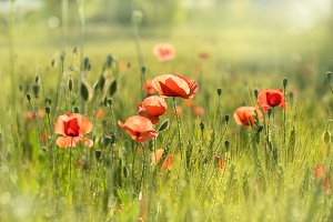 Poppies  in the shining sun