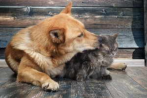 Huge dog licks unhappy cat