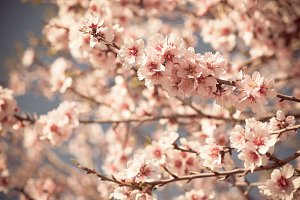 Pink Flowers Blooming Peach Tree