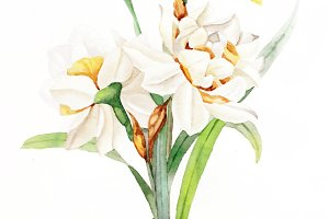 Watercolor set of daffodils