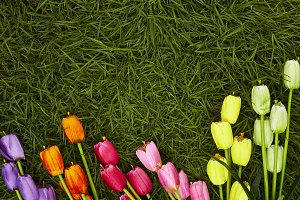 Colorful tulips in a field. Spring