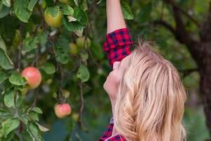 Beautiful woman harvesting apples