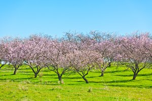 Blooming Peach Tree Garden