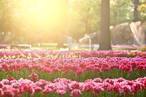 Tulips in sunset light