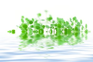 green sprouts in the water