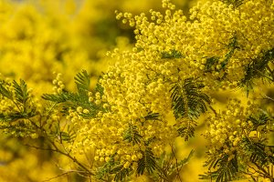 mimosa tree in spring