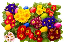 Primula flowers with easter eggs