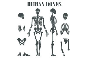 Human skeleton with different parts.
