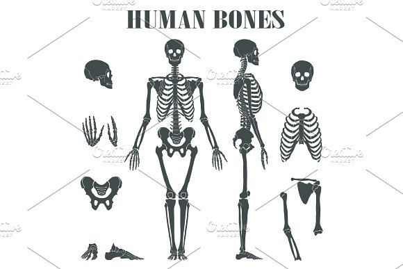 Human Skeleton With Different Parts