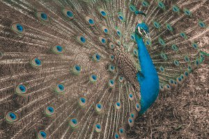Gorgeous Peacock Closeup Outdoor