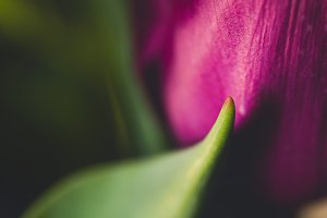 Close-up of Pink Tulip and Leaves