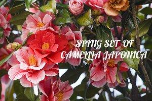 Spring set of Camellia Japonica