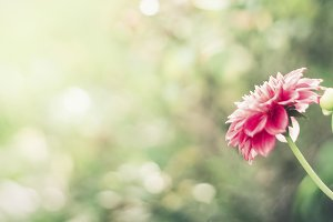 Nature background with pink flower