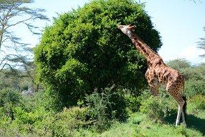 Giraffe on Kilimanjaro mount