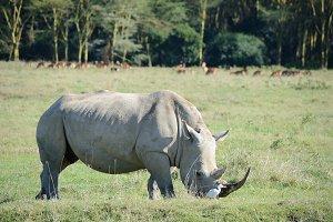 Rhinoceros face,horn and eye.