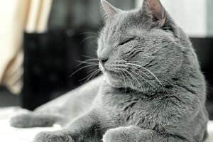 Adult gray cat in comfort relax