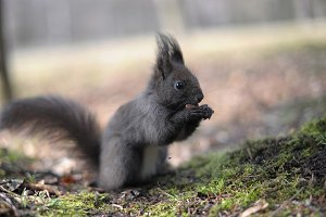 European dark grey squirrel eating