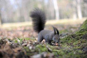 European dark grey squirrel