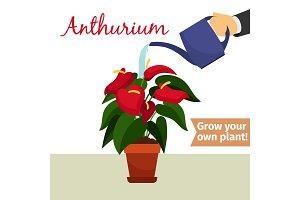 Hand watering anthurium plant