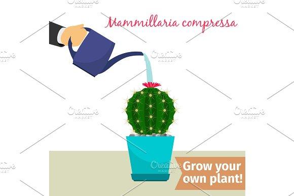 Hand Watering Mammillaria Compressa Plant