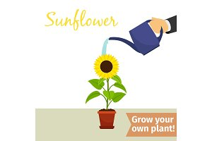 Hand watering sunflower plant