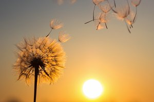 Dandelion and the setting sun