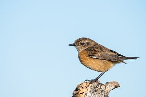 female of Stonechat Saxicola rubicol
