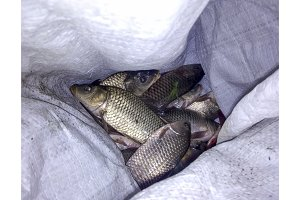 Fish carp in a bag. Fish catch of fish.