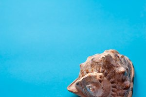 Tropical sea-shell