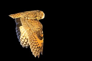 owl flying isolated on a black background